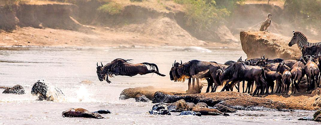 Nach langem Marsch aus Kenja erreichen Gnus den Mara-Fluss in Tansania